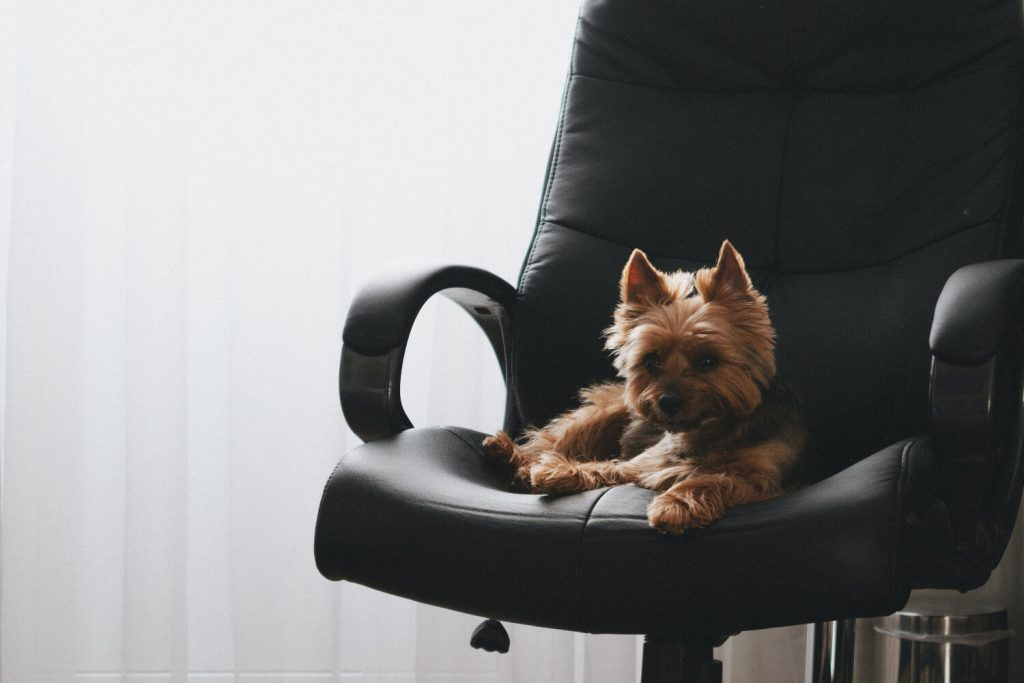 Excellent.org talks about how dogs can increase motivation, the picture shows a dog on an office chair